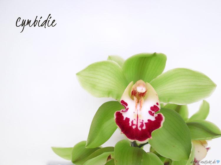 Blüte der Cymbidie